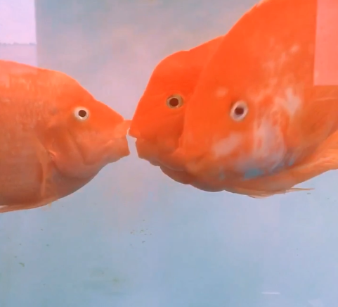 The kiss fish is so sweet in the Maker's plastic bottle factory